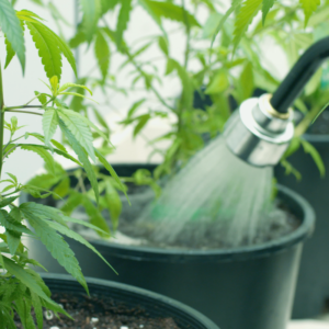 What is the Best Water for Growing Cannabis