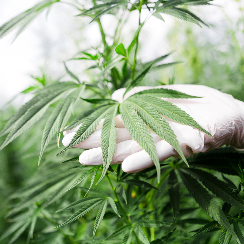 Cannabis and Your Water: 5 Tips for your Reverse Osmosis System